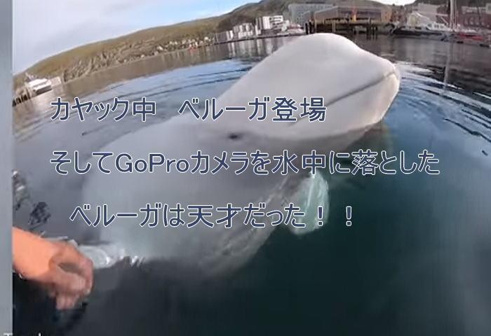 beluga - ベルーガ天才シーカヤック中カメラを落とす